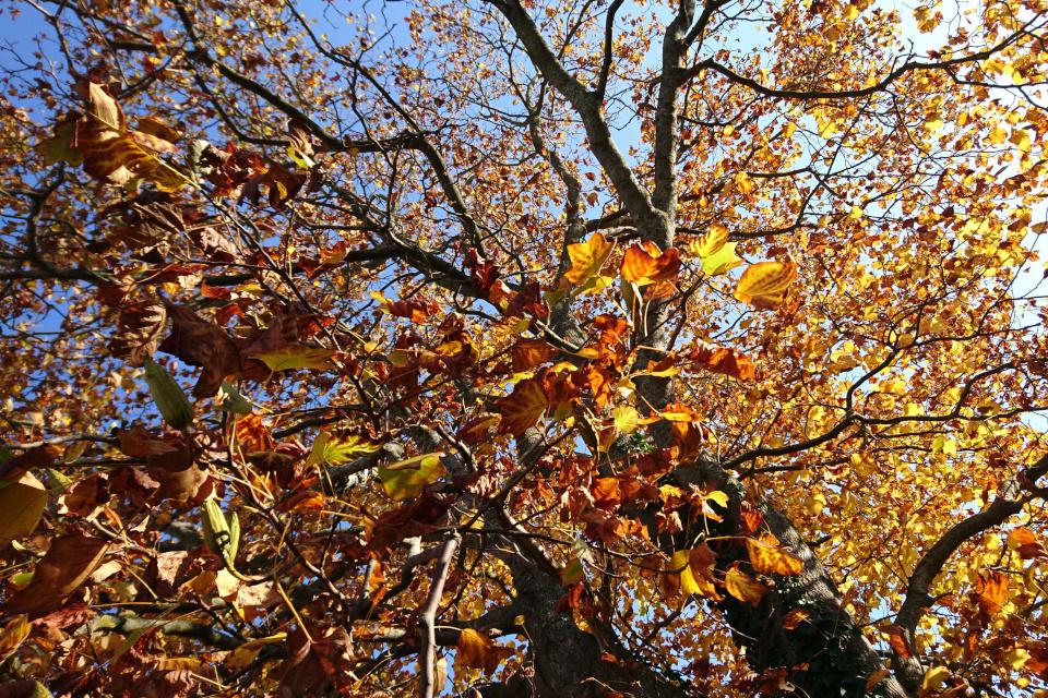 Листья желтых и коричневых оттенков перед опаданием с веток
