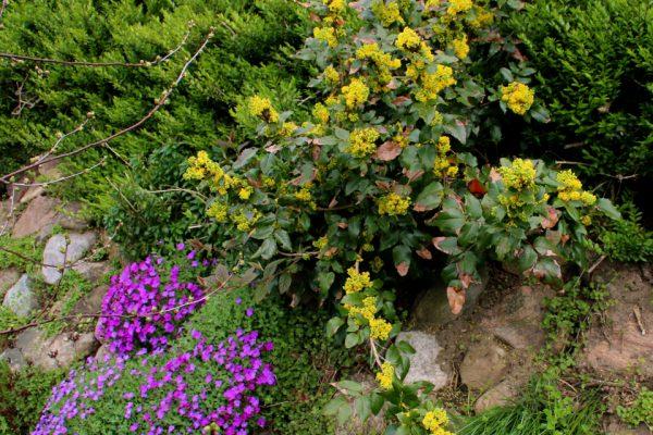 Магония падуболистная, Mahonia aquifolium 12apr14 My garden www.florapassionis.com