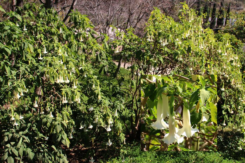 Бругмансия Brugmansia, ботанический сад Ла Консепсьон, г. Малага, Испания