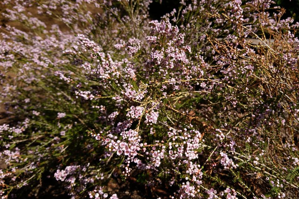 Диосма Розовое Дыхание (Diosma hirsuta), ботанический сад Ла Консепсьон, г. Малага