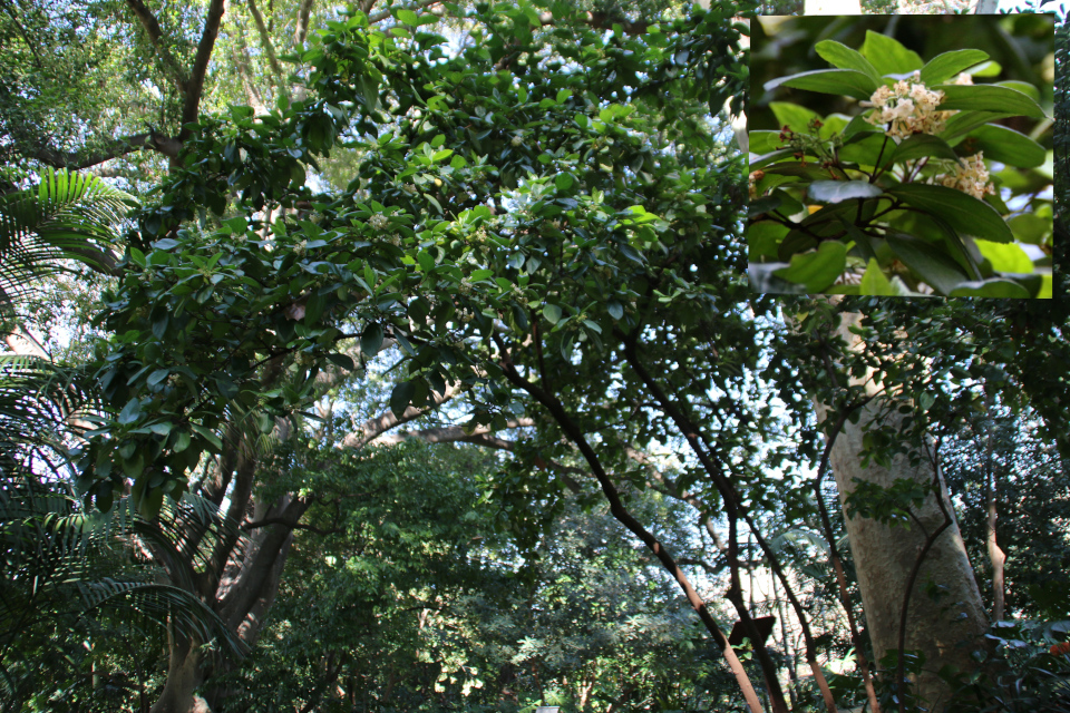 Калина свешивающаяся Viburnum suspensum Ботанический сад Ла Консепсьон
