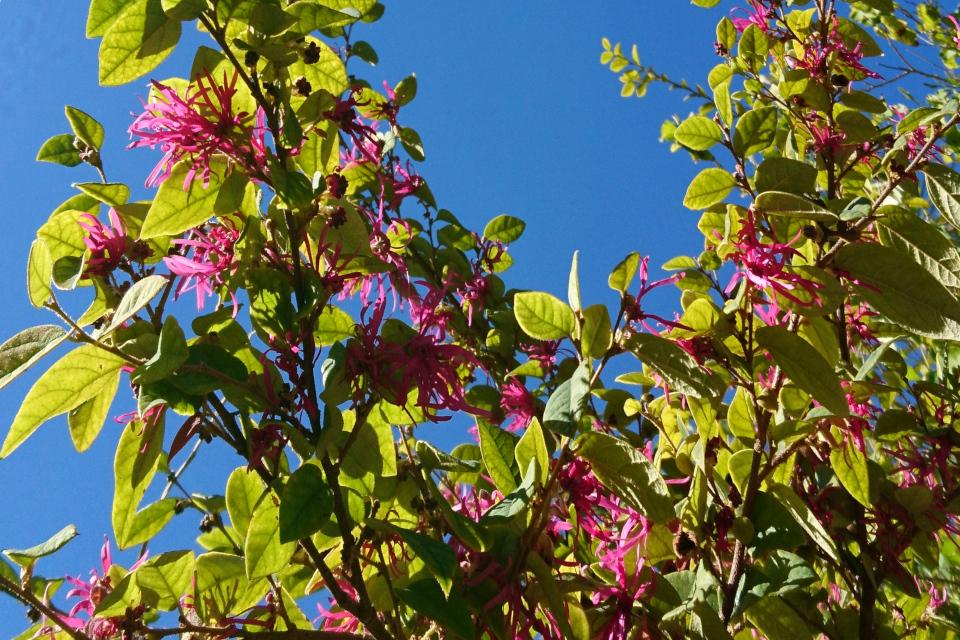 Лоропеталум китайский (Loropetalum Chinense) в ботаническом саду Ла Консепсьон