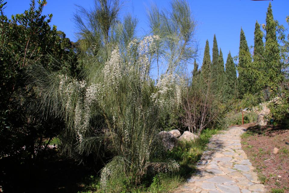 Метельник односемянный Retama monosperma - Флора Средиземноморья