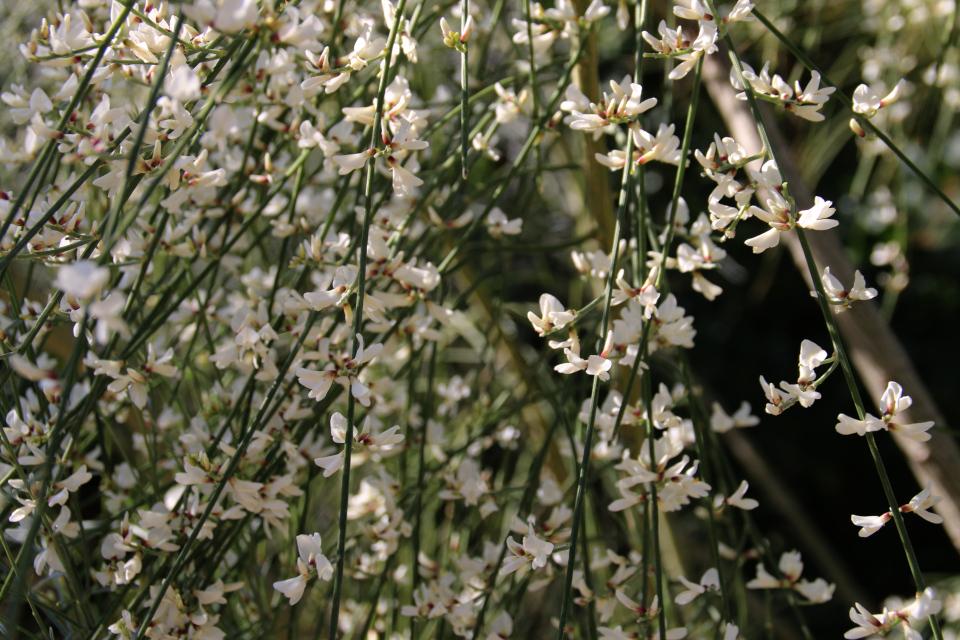 Ретама односемянная (Retama monosperma) в полном цвету
