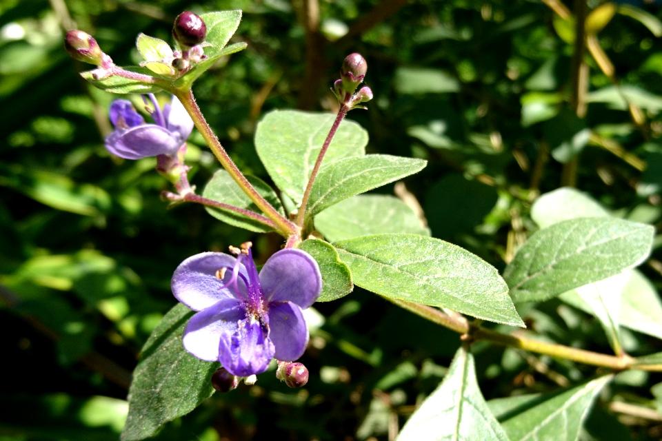 Ротека мириковидная Rotheca myricoides Ботанический сад Малага
