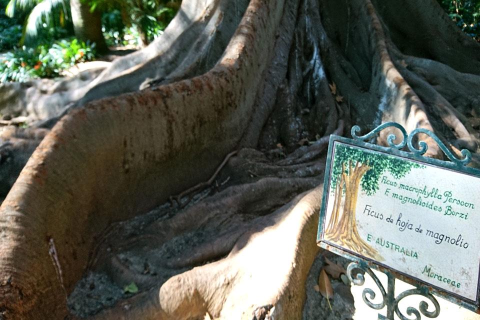 Фикус крупнолистный Ficus macrophylla Ботанический сад Ла Консепсион Малага 17feb2018 www.florapassionis.com