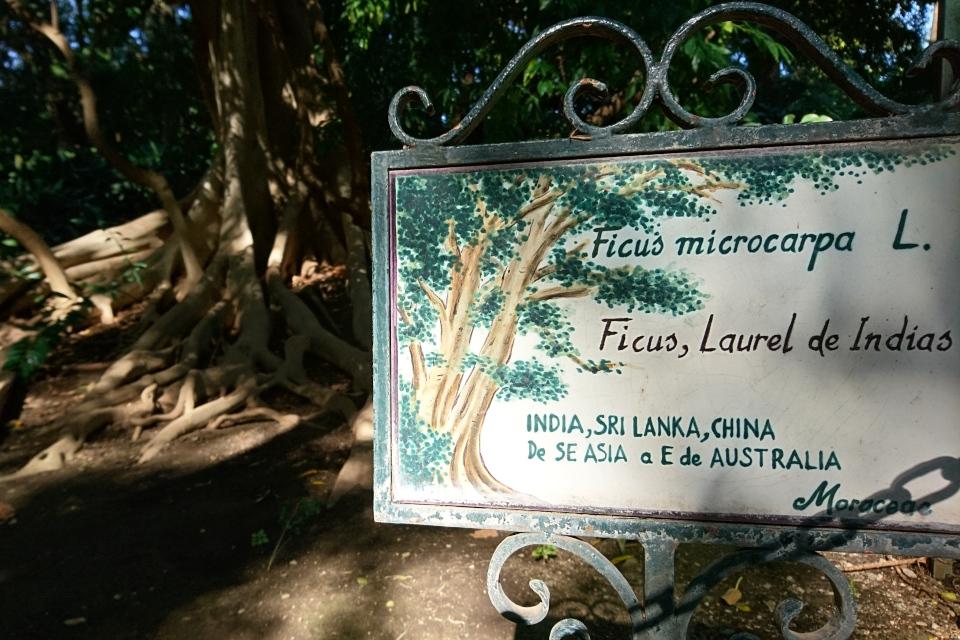 Табличка возле гигантского фикуса микрокарпа в ботаническом саду Ла Консепсьон