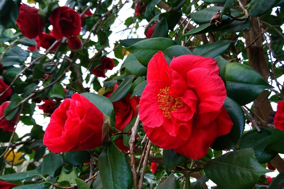 Camellia japonica 'Satans Robe'