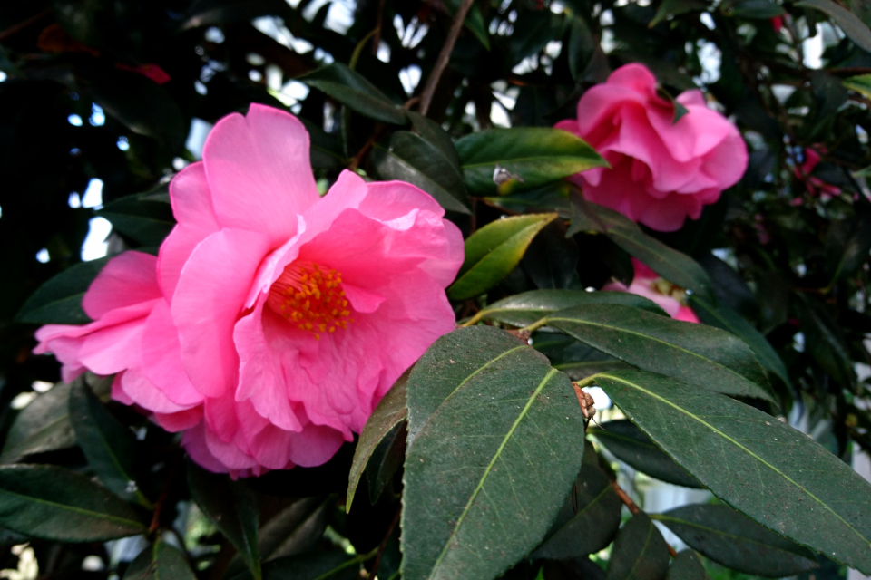 Camellia japonica 'Mary Phoebe Taylor'