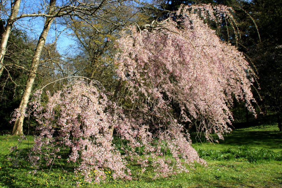 Японская весна в Дании - Японская вишня - сакура