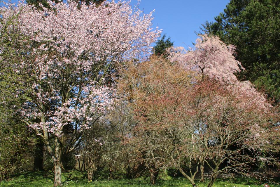 Японская весна в Дании - цветут сакуры.