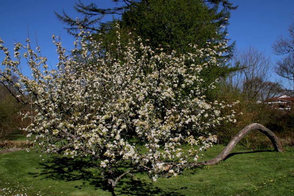 Японская весна в Дании - цветут сакуры