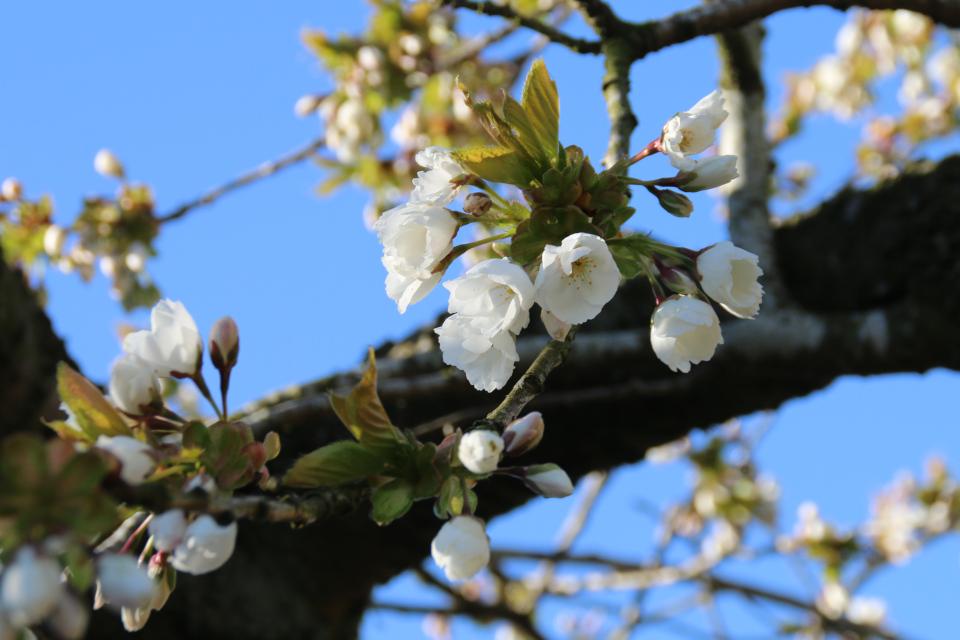 Цветы вишни мелкопильчатой, сорт Shujaka