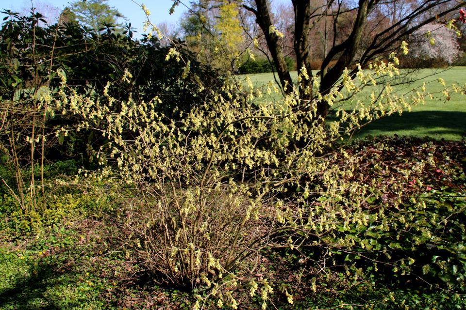 Цветущий куст Корилопсисс малоцветкового (Corylopsis pauciflora)
