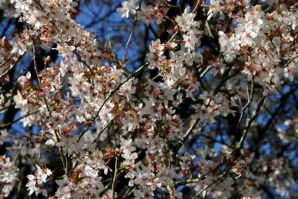 "Цветы сакуры - ""октябрьской вишни"" prunus subhirtella Autumnalis."