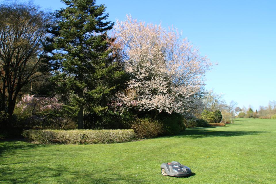 """Японская весна в Дании - цветет """"октябрьская вишня"""" prunus subhirtella Autumnalis"""