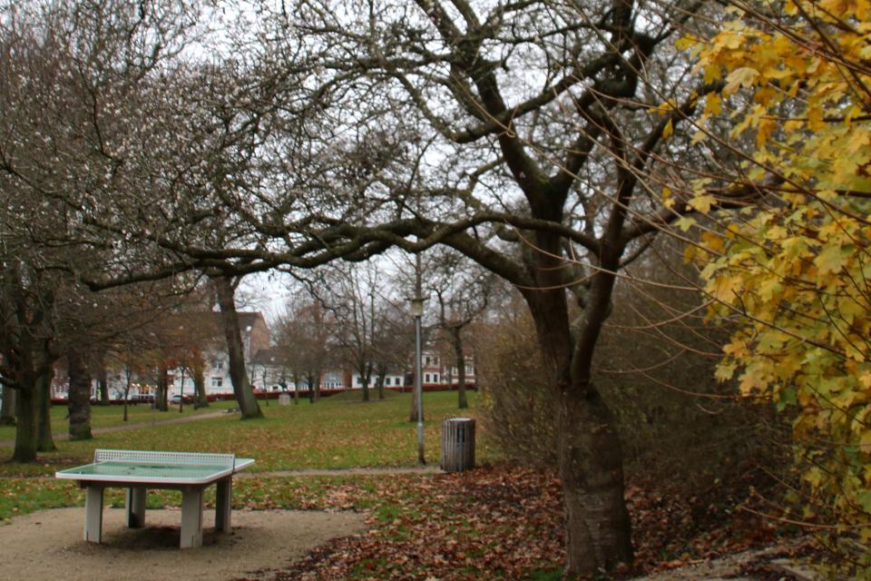 """""""Осенние"""" сакуры в цвету в парке возле музея г. Хорсенс, Дания. Фото 29 нояб. 2020"""