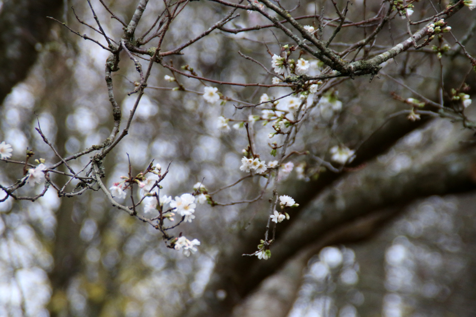 Поздние цветы сакуры в последние дни осени. Фото 29 нояб. 2020, г. Хорсенс, Дания
