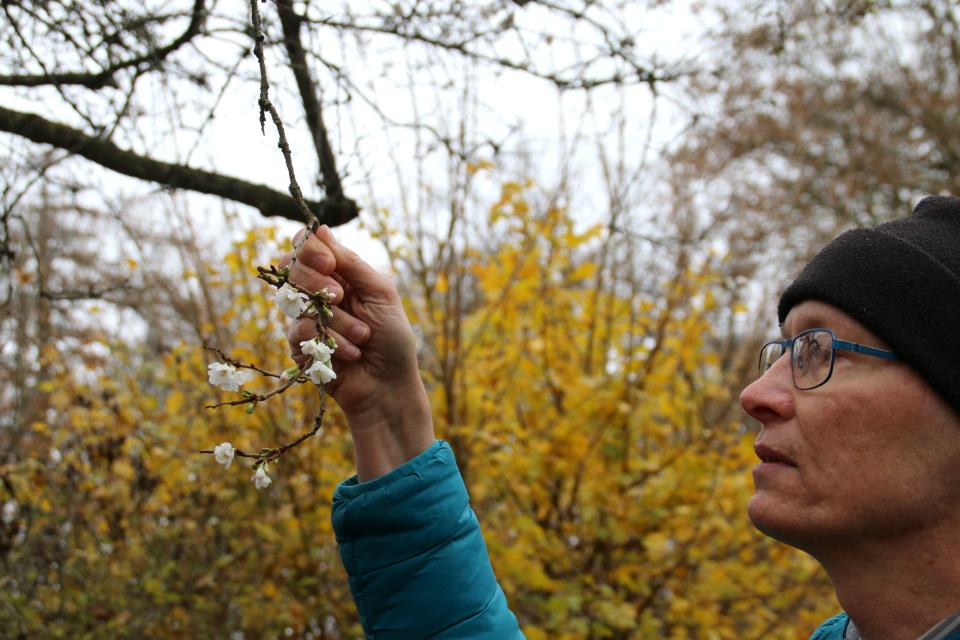 "Цветы ""октябрьской"" сакуры. Фото 29 нояб. 2020, г. Хорсенс, Дания"
