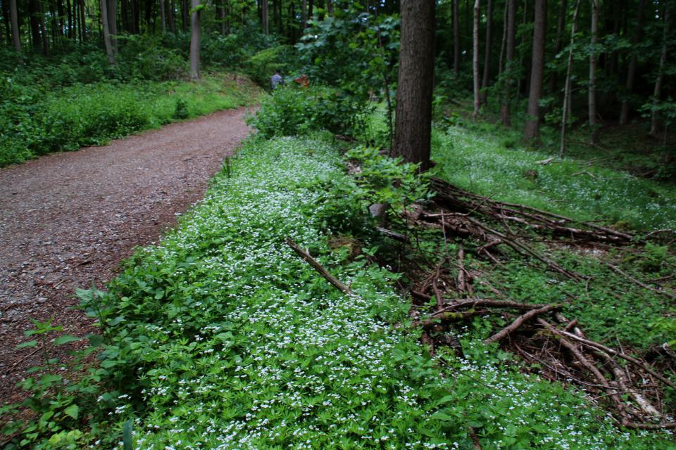"""Цветущий ковер из """"майской травы"""" в лесу Марселисборг, Дания. 23 мая 2020"""