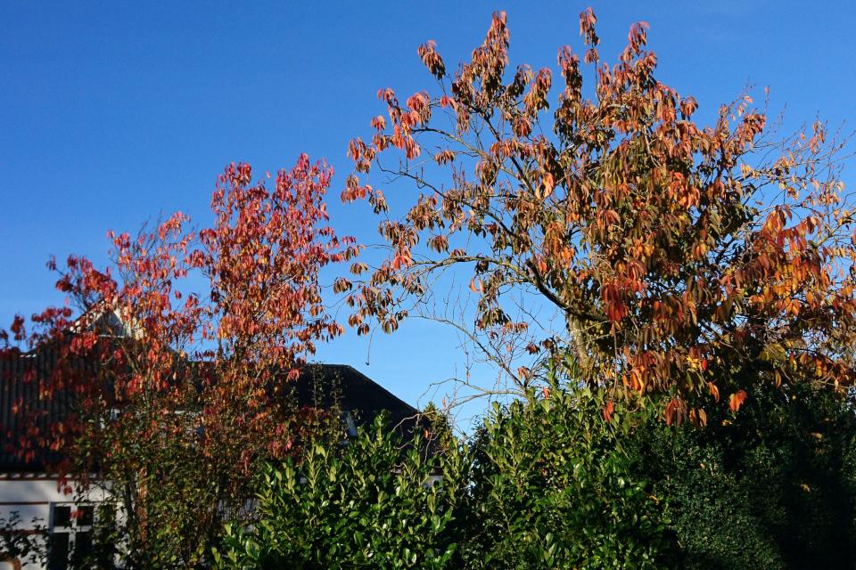 Японские вишни в осеннем наряде