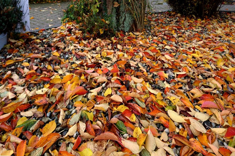Ковер из осенней листвы сакур