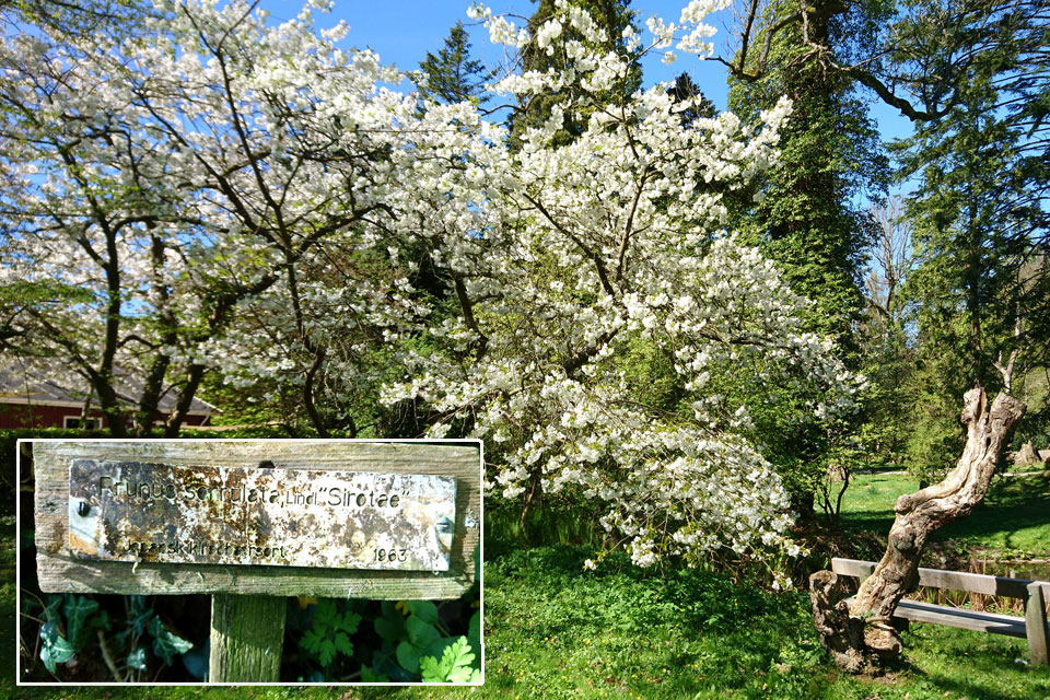 Вишня пильчатая сорт Сиротае (лат. Prunus serrulata Shirotae)