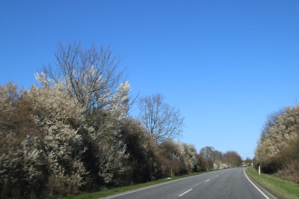 Цветущие заросли из дикой алычи (лат. Prunus cerasifera) вдоль дороги