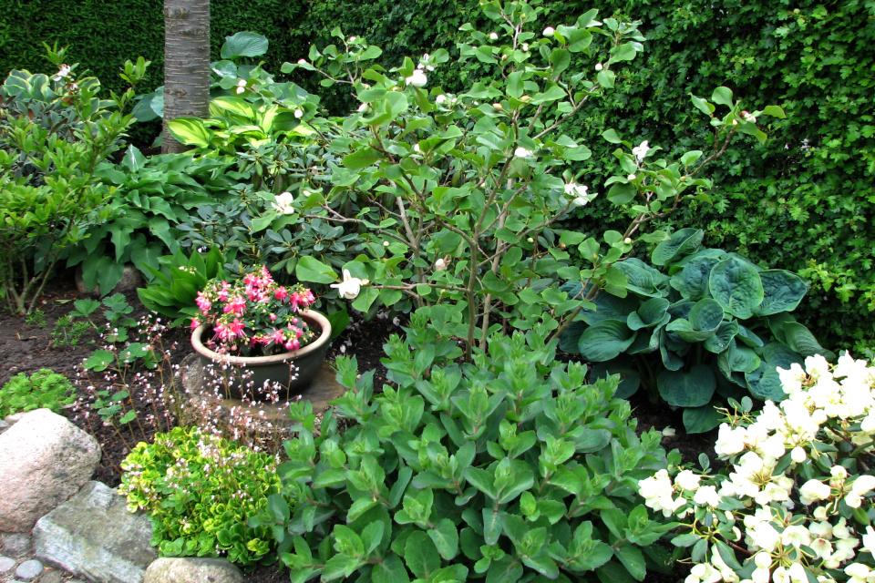 Магнолия Зибольда (Magnolia sieboldii) в саду с рододендронами