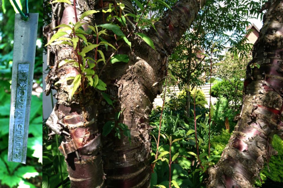 Черёмуха Маака (лат. Prunus maackii) в палисаднике дома Кирстен и Ингольфа
