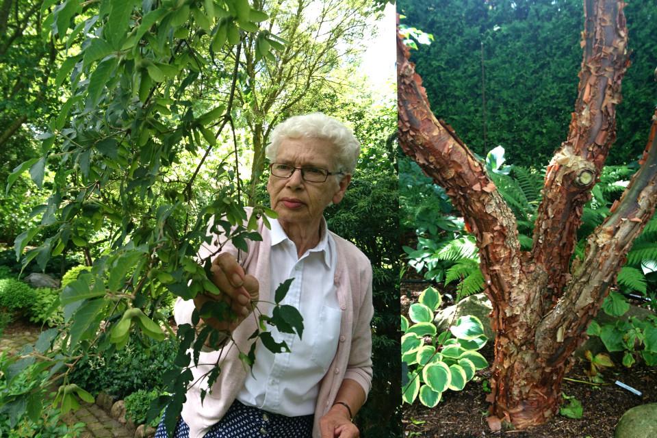 Клён серый (Acer griseum)