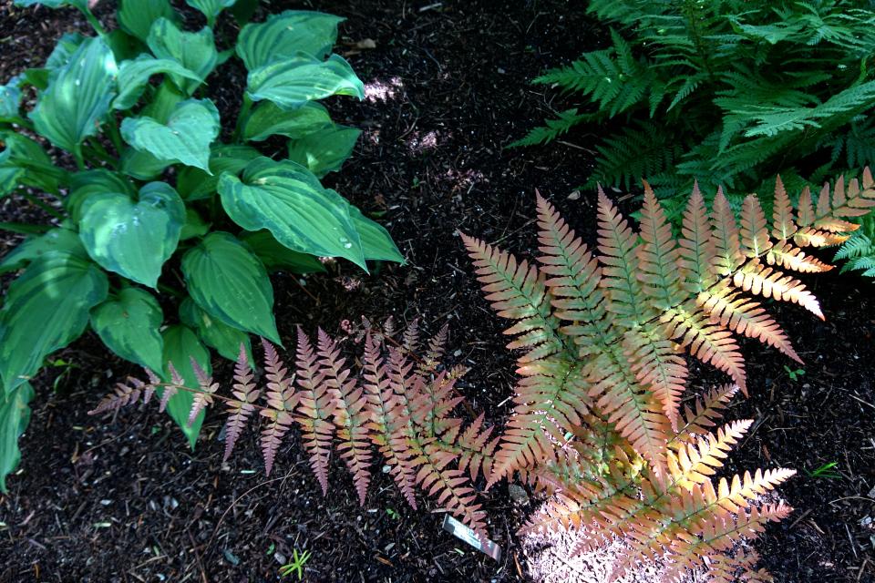 Щитовник красносорусовый (Dryopteris erythrosora)