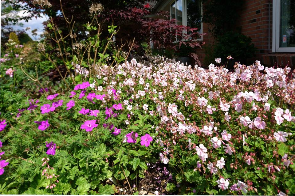 Клумба с разными сортами садовой многолетней герани возле дома