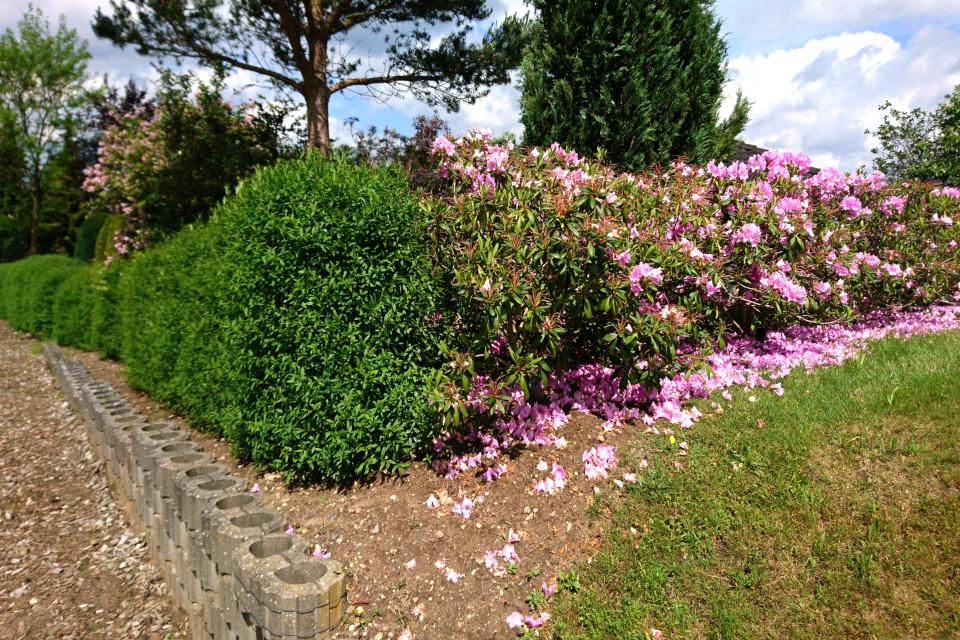 Живая ограда из бирючины и отцветающих рододендронов