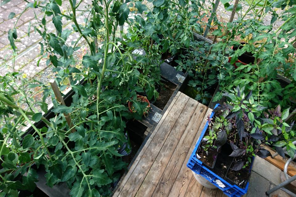 Внутри теплицы, где помидоры выращиваются в больших полиэтиленовых мешках