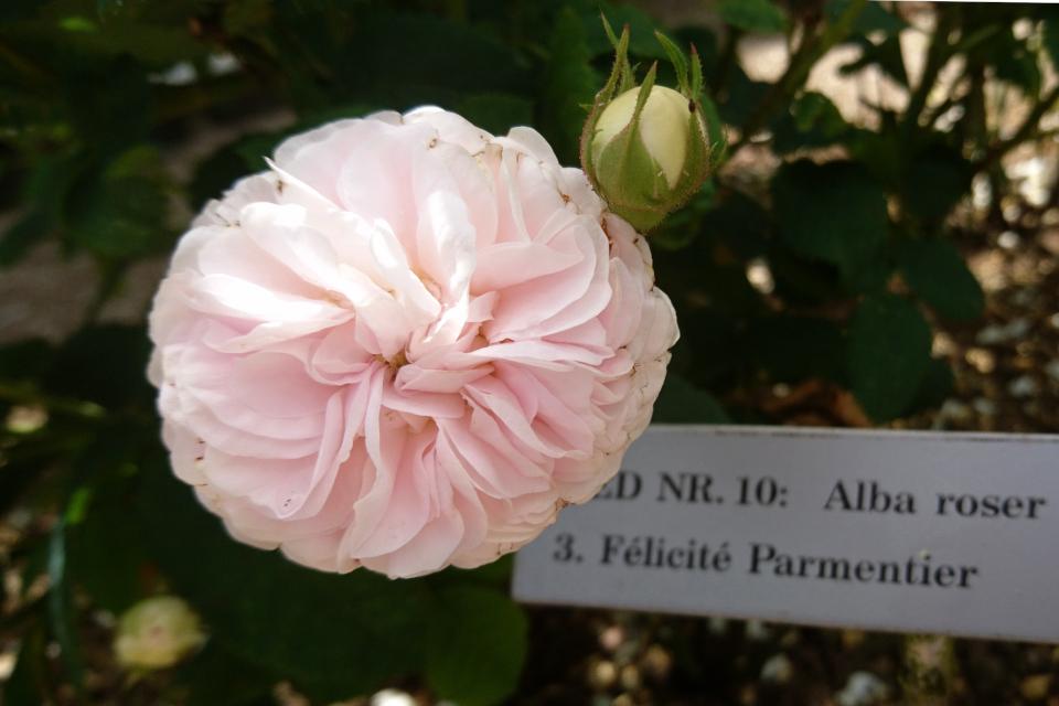 Роза Альба Félicité Parmentier. Фото 3 июл. 2019, г. Фредерисия / Fredericia, Дания