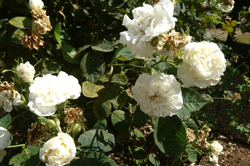 Роза Альба Rosa Alba Maxima. Фото 3 июл. 2019, г. Фредерисия / Fredericia, Дания