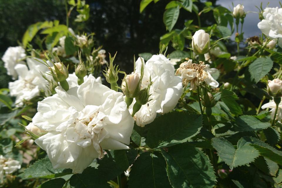 Роза Альба Rosa Princesse de Lamballe. Фото 3 июл. 2019, г. Фредерисия / Fredericia, Дания