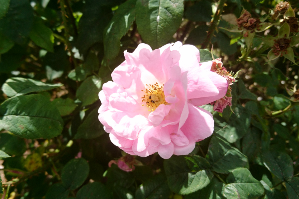 Роза Альба 'Amelia'. Фото 3 июл. 2019, г. Фредерисия / Fredericia, Дания
