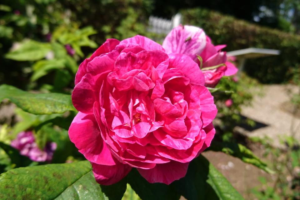Бурбонская роза Commandant Beaurepaire.