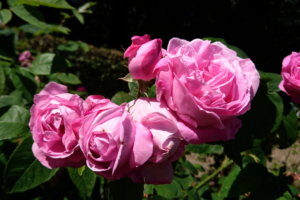 Бурбонская роза Coupe d'Hébé'. Фото 3 июл. 2019, г. Фредерисия / Fredericia, Дания