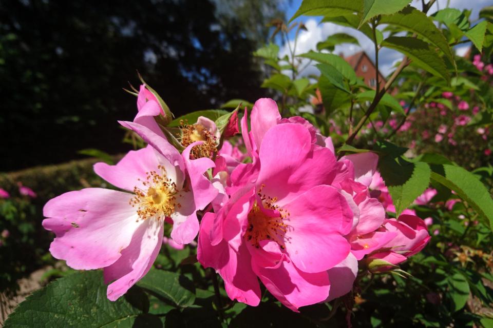 Галльская роза Complicata. Фото 3 июл. 2019, г. Фредерисия / Fredericia, Дания