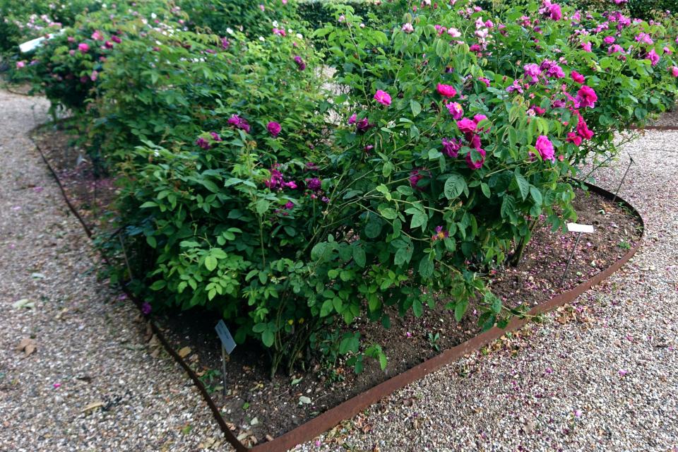 Исторические розы музея города Фредерисия. Галльская роза Conditorum