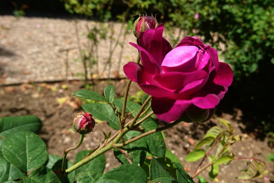 Галльская роза Cardinal de Richelieu. Фото 3 июл. 2019, г. Фредерисия / Fredericia, Дания