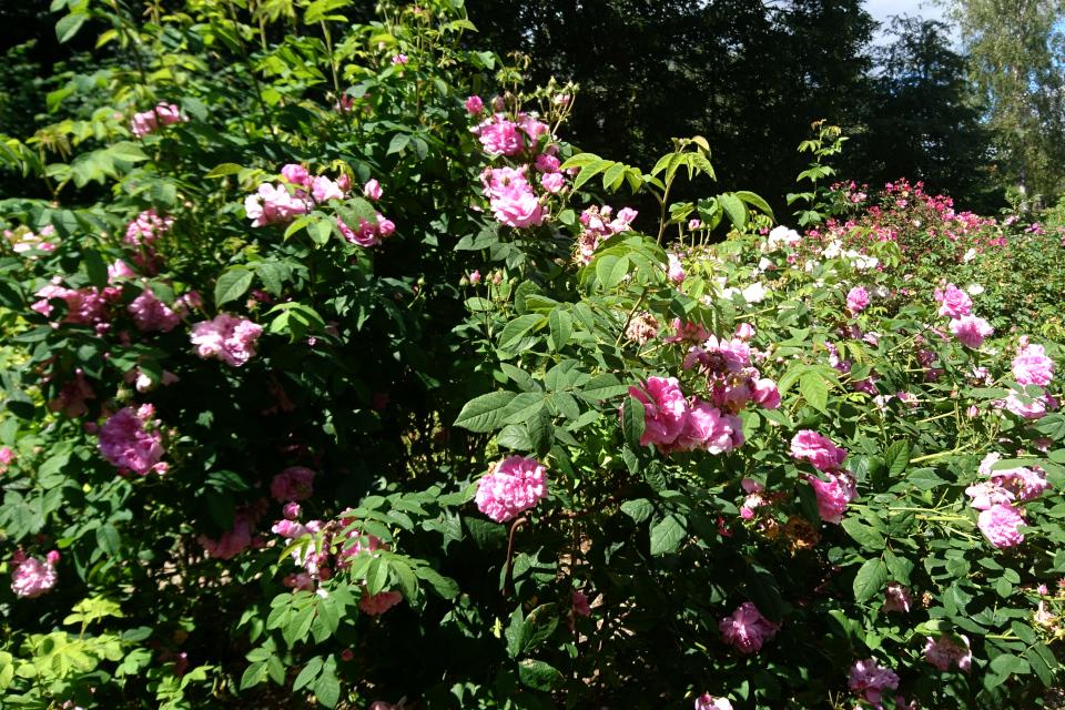 Исторические розы музея Фредерисия Дания. Дамасская роза Ispahan
