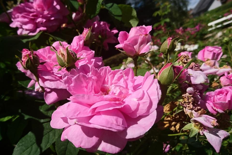Дамасская роза Ispahan. Фото 3 июл. 2019, г. Фредерисия / Fredericia, Дания
