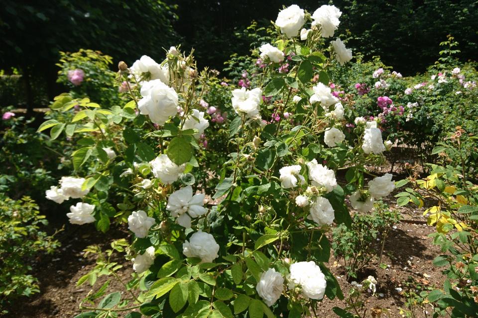 Исторические розы музея Фредерисия Дания. Дамасская роза Mme Zoetmans
