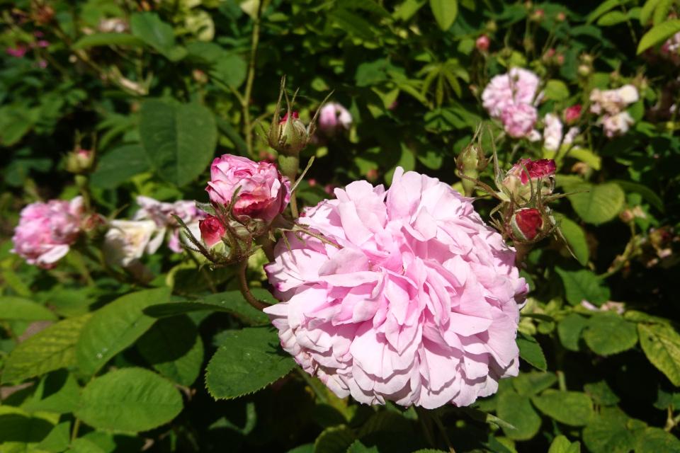 Дамасская роза Omar Khayyám. Фото 3 июл. 2019, г. Фредерисия / Fredericia, Дания