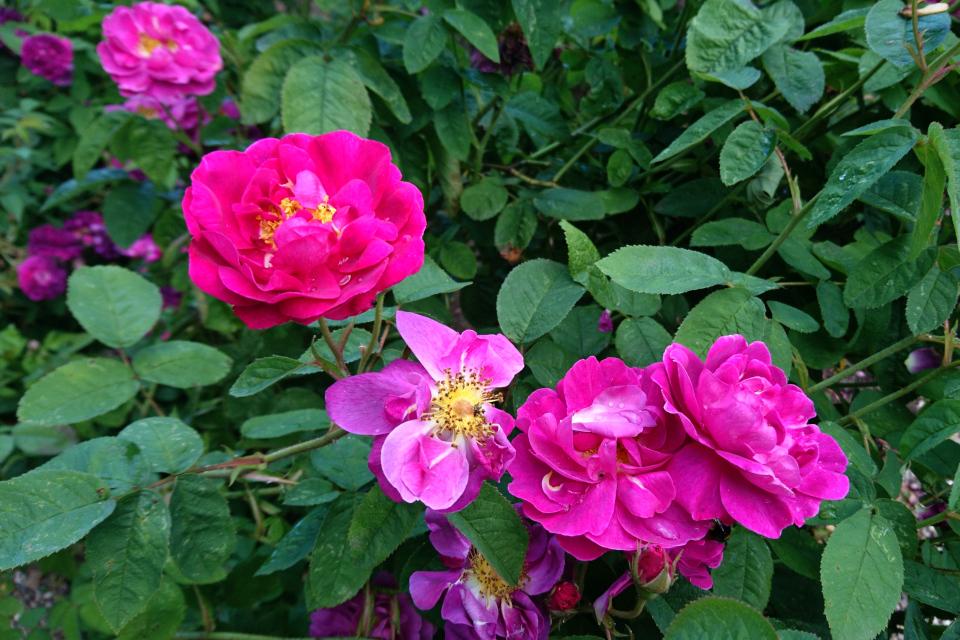 Галльская роза Conditorum. Фото 3 июл. 2019, г. Фредерисия / Fredericia, Дания