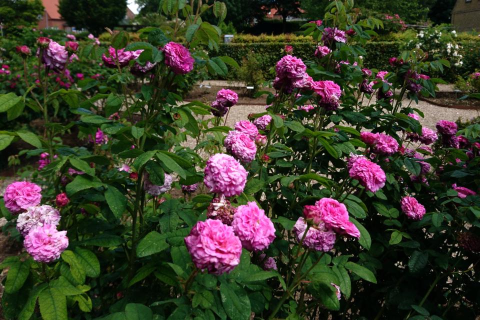 Галльская роза Cramoisi Picoté. Фото 3 июл. 2019, г. Фредерисия / Fredericia, Дания